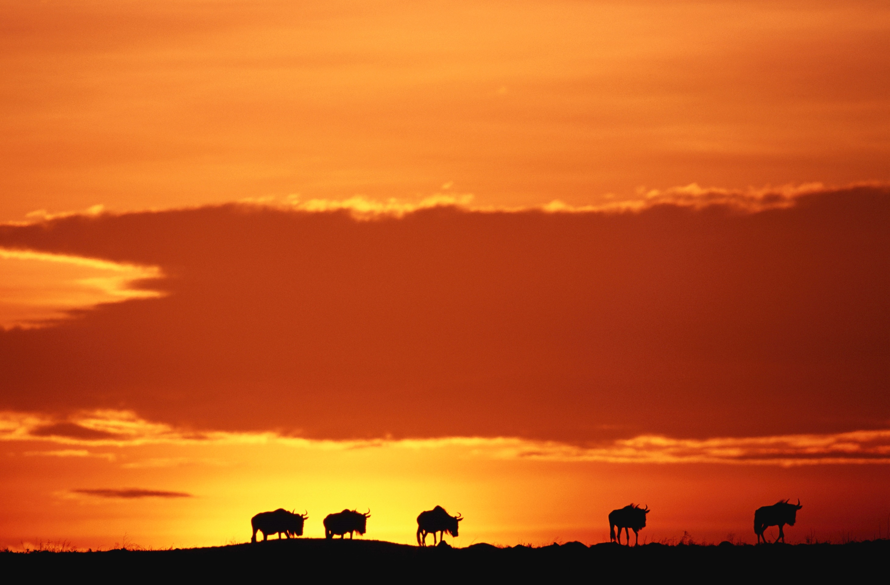 Wildebeest silhouettes in the Masai Mara