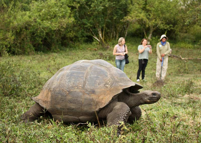 Giant Galapagos Tortoise, Santa Cruz Highlands