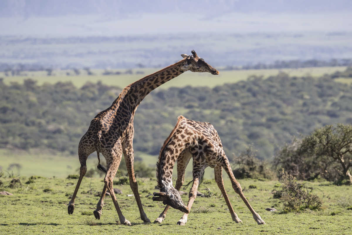 a head by neck, two Serengeti bulls spa for supremacy this balletic display of  affection