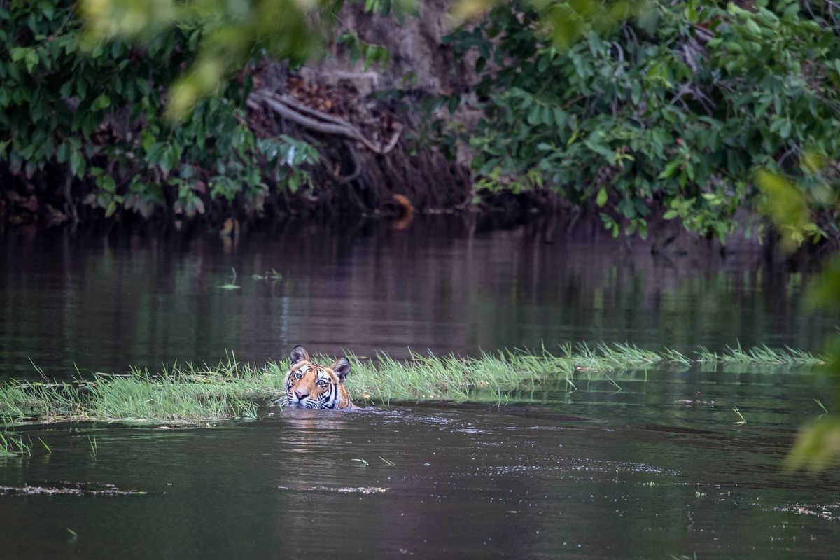 Tiger in Bandhavgarh