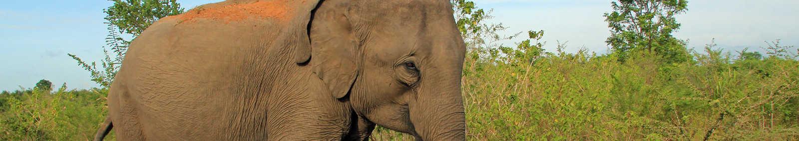 Lankesian Elephant (Elephas Maximus Maximus) in the Bush, Uda Walawe National Park, Sri Lanka