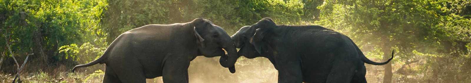 The dust flies as two male elephants do battle in Sri Lankas Yala National Park