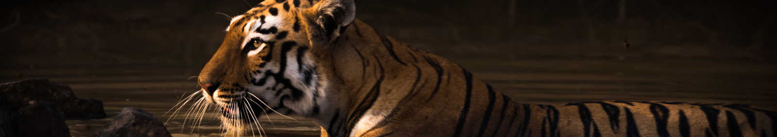 Bengal tiger with catchlight in water hole - Nick Dale