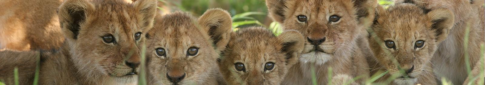 Lion Cubs Africa