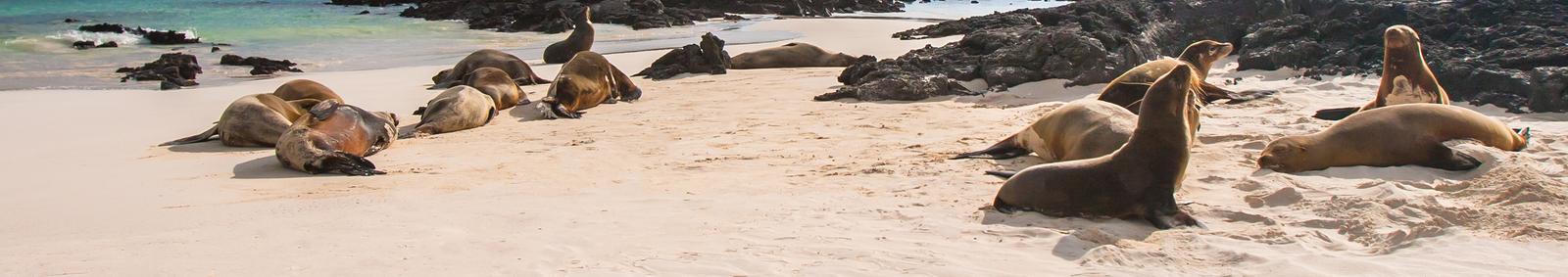 Sea Lions on Galapagos beach