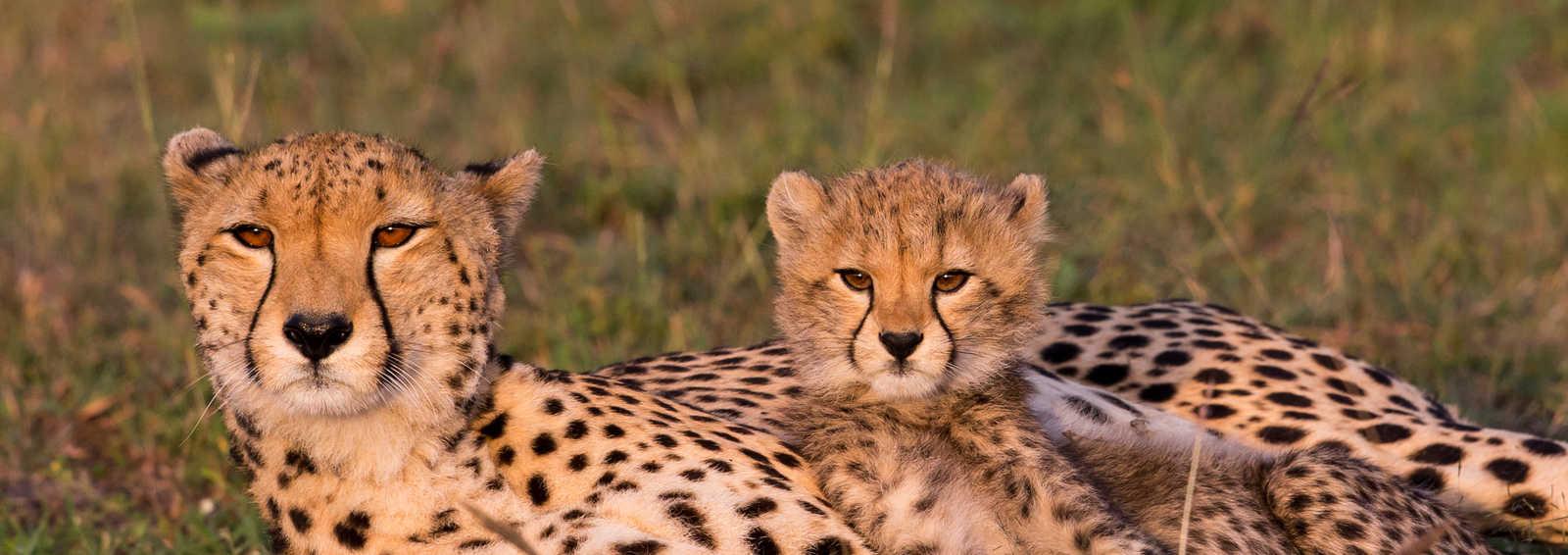 Cheetah and cub, Masai Mara