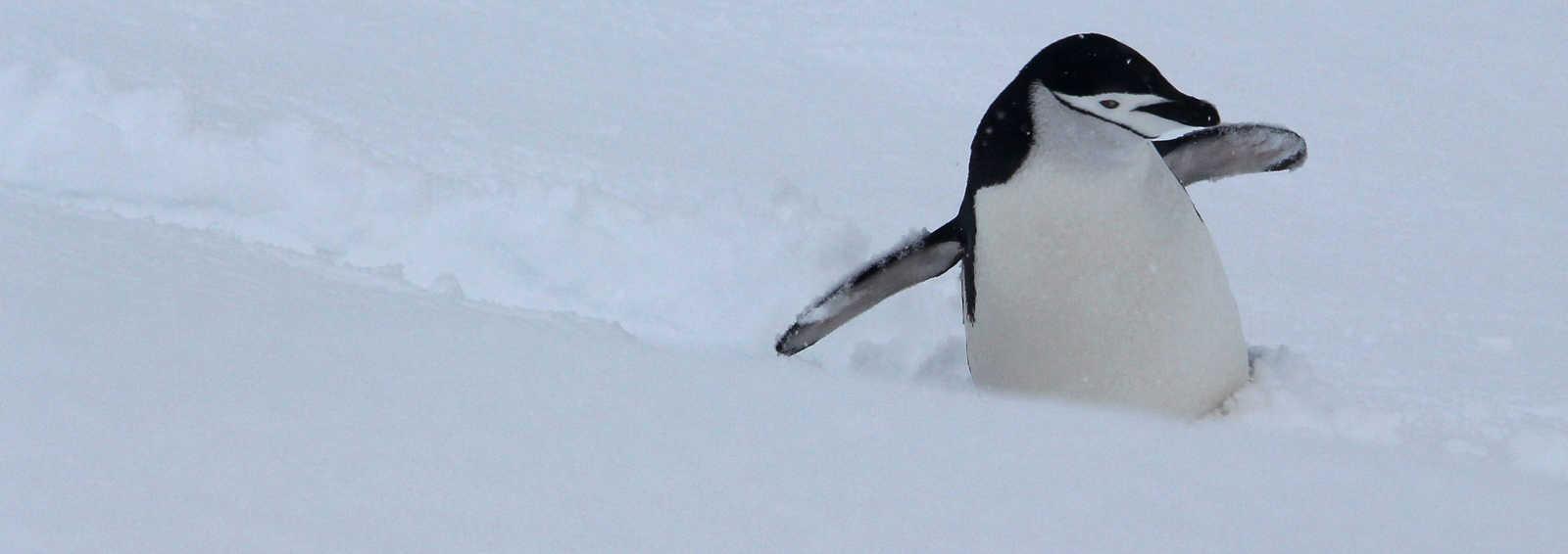 Chinstrap penguin on Half Moon Island