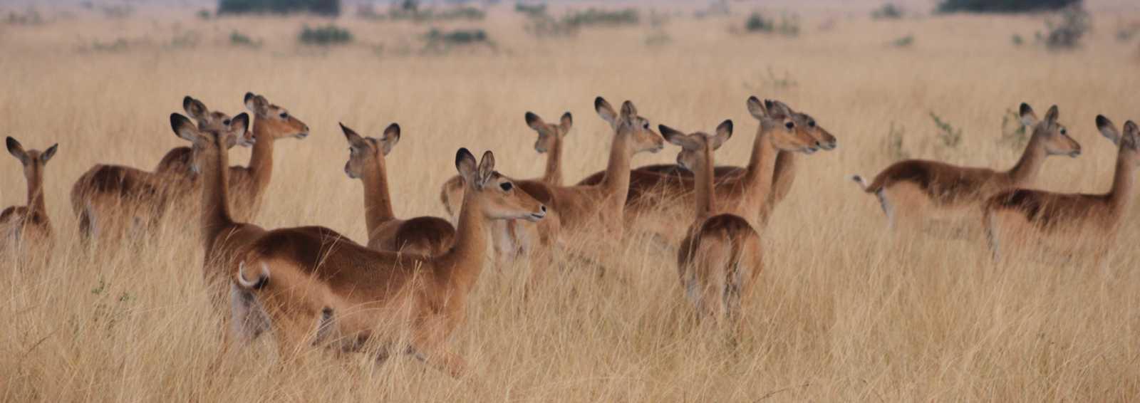 Part of a herd of kob in Queen Elizabeth National Park, Uganda