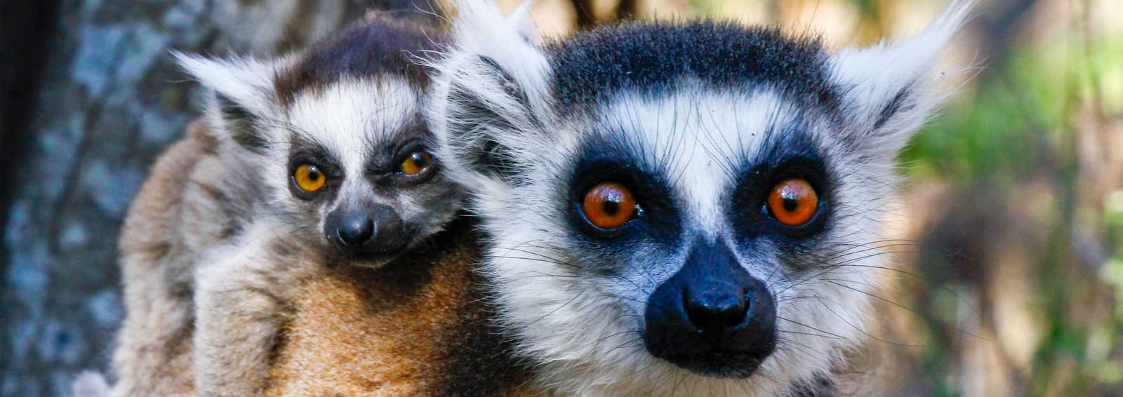 Ring-tailed lemur (lemur catta) and cute cup, Madagascar