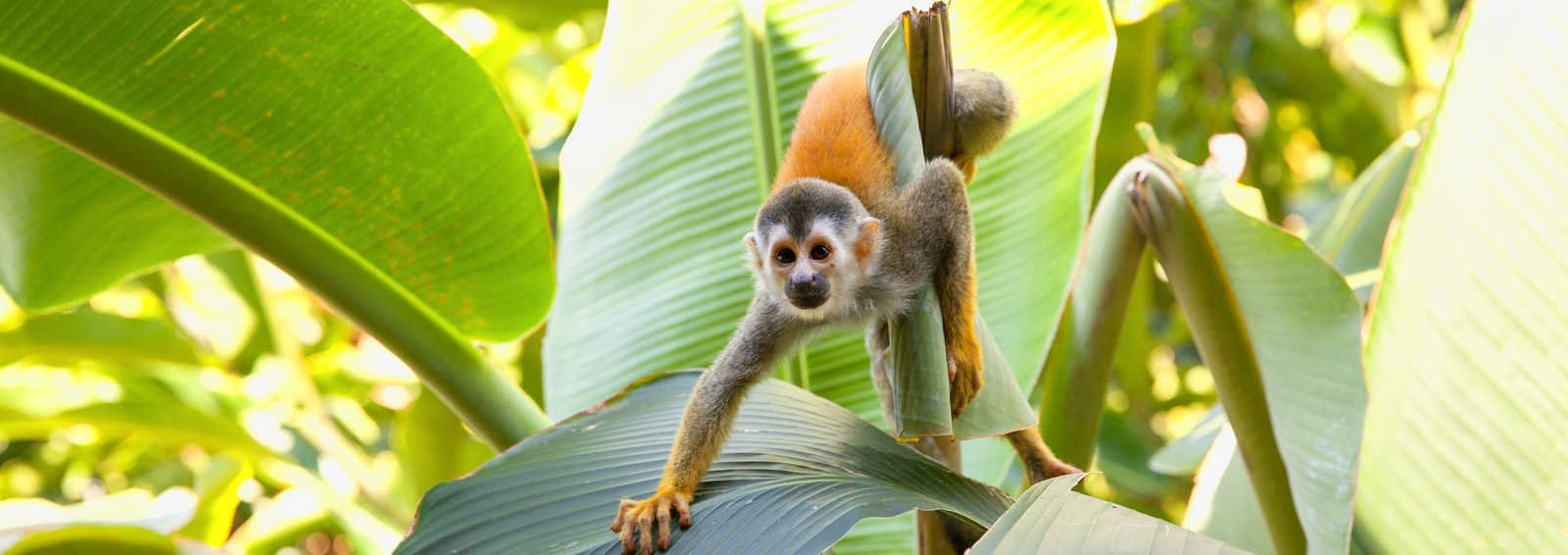 Squirrel Monkey on a palm leaf in Manuel Antonio, Costa Rica