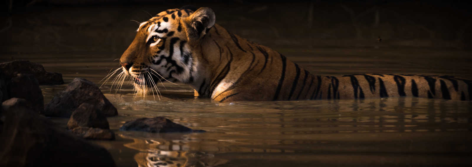 Bengal tiger with catchlight in water hole - Copyright Paul Goldstein