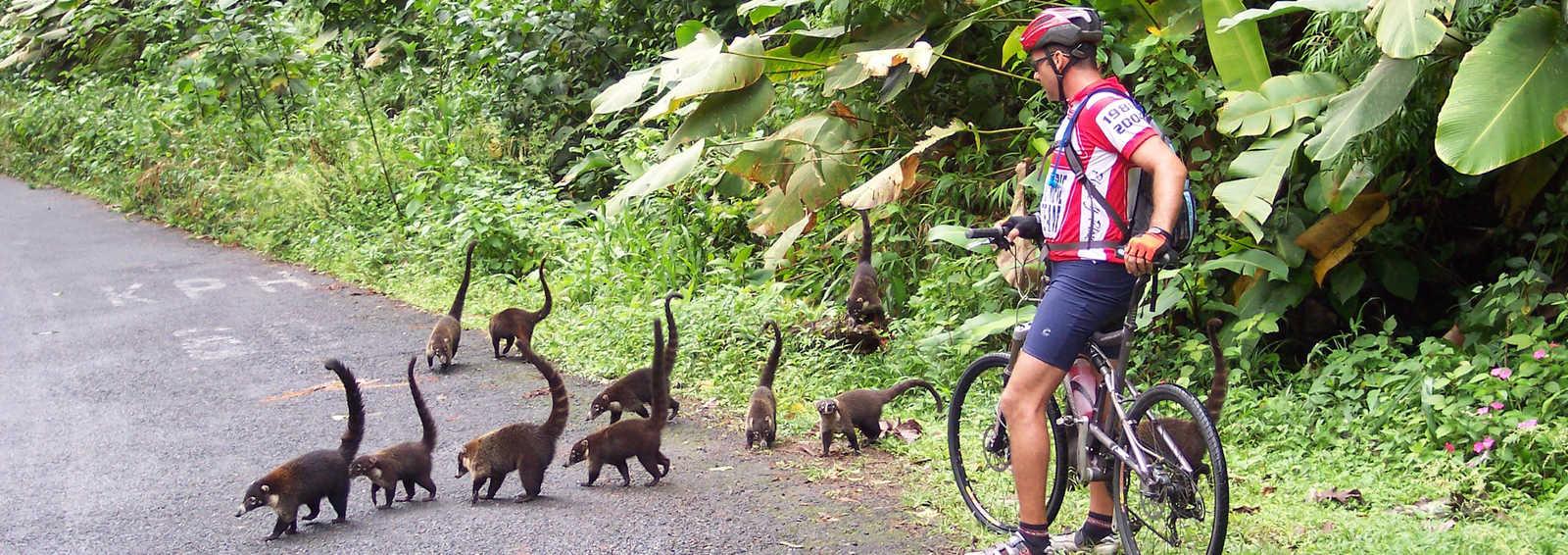 Coatimundi crossing a jungle road with cyclist, Costa Rica