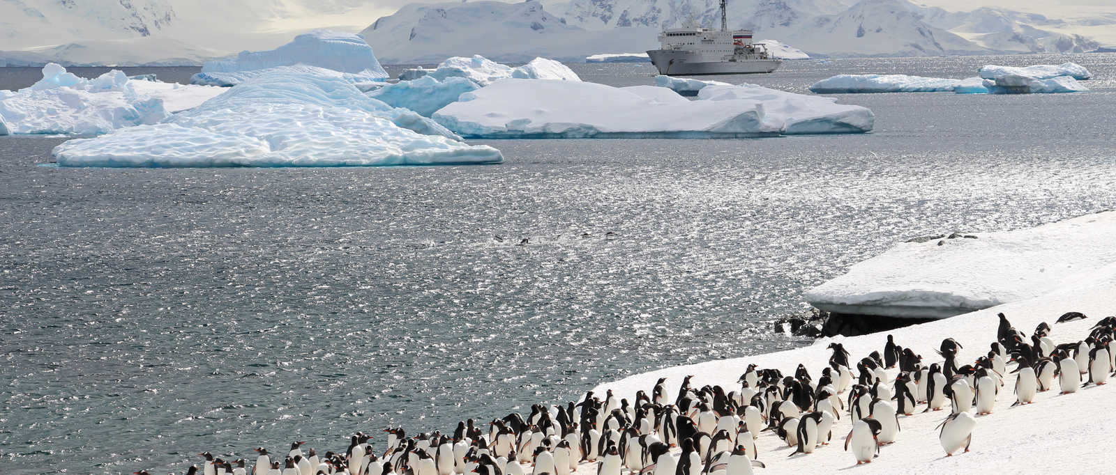 Gentoo penguin colony, Cuverville Island, Antarctica