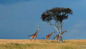 Four Masai giraffes, Masai Mara NR, Kenya