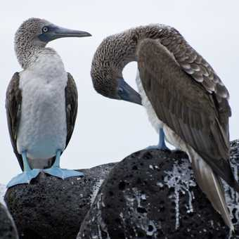 Blue Footed Boobies 1