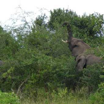 Elephant feeding Queen Elizabeth NP