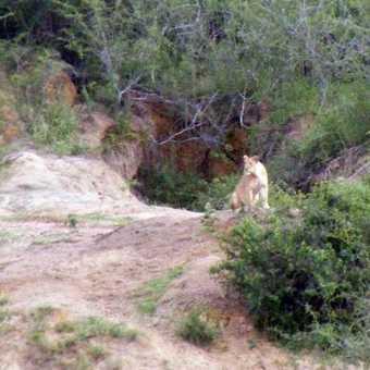 Solitary Lioness overlooking Kazinga Channel