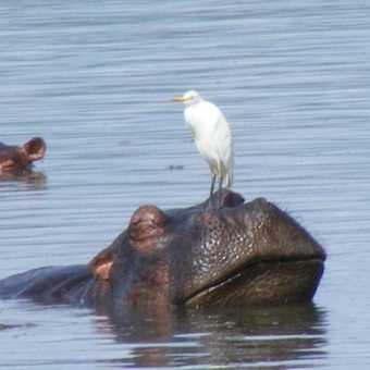 Egret hitchiking in Murchison Falls NP