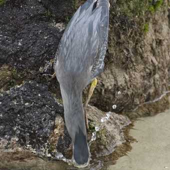 Striated Heron Fishing 1