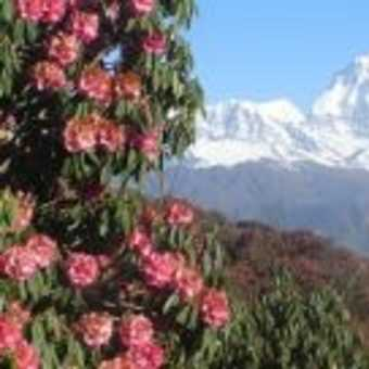 Poon Hill rhododendrons