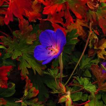 Nanda Devi Base camp flower