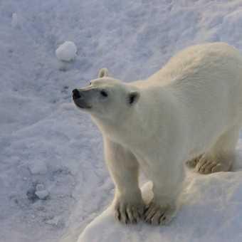 Bear on ice