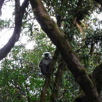 Langur in cloud forest
