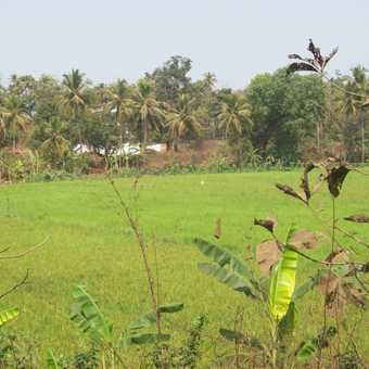 Rice field close to Old Goa