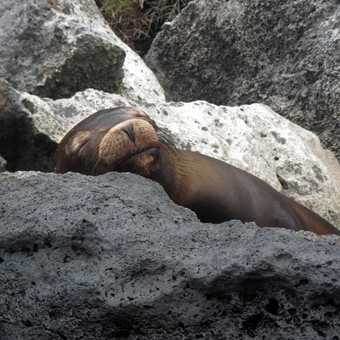 Sleeping Fur Seal Pup