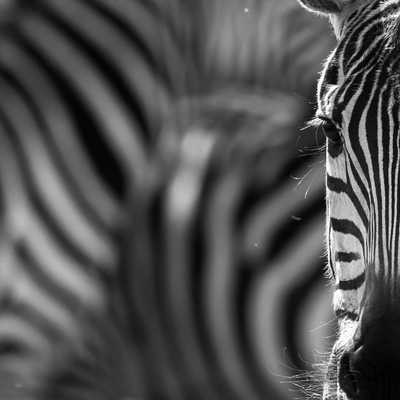 the wildlife news, in black and white. Mara north.