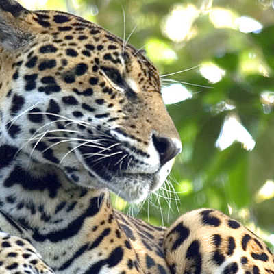 The rare Jaguar in San Ignacio region, Belize