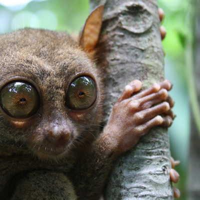 Bornean tarsier