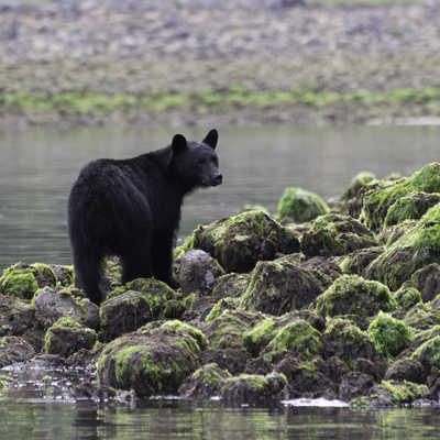 Black bear standing on rocks at low tide Tofino British Columbia Canada.