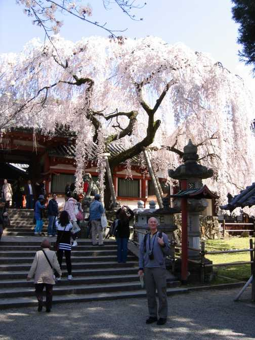 Excellent cherry blossom in Nara