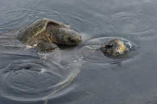 Mating Turtles