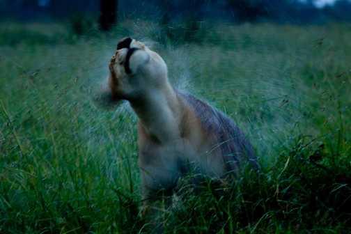 Lion shake