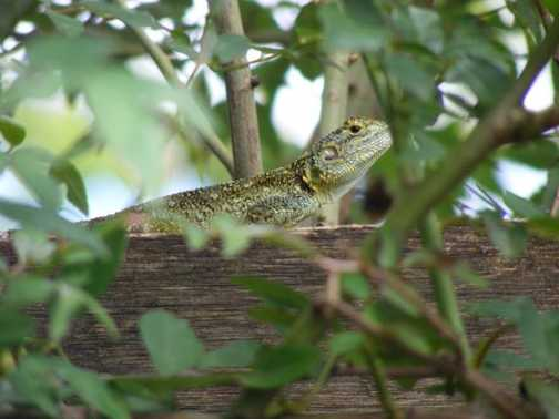 Lizard at Ndale Lodge