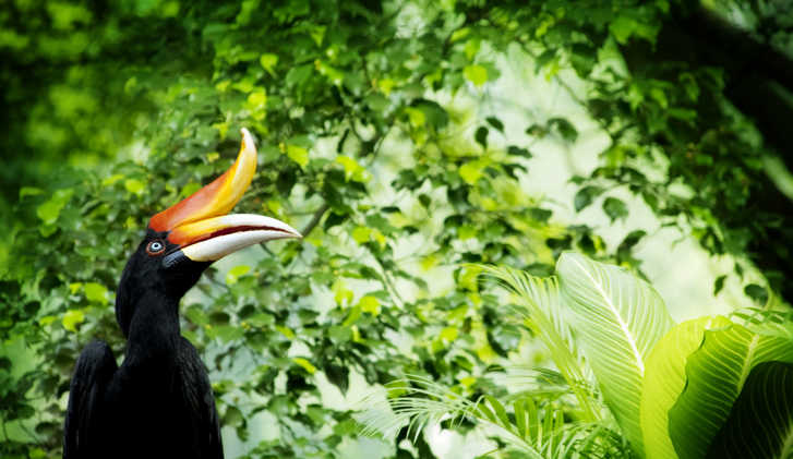 Borneo exotic Great Hornbill in tropical rainforest, Malaysia