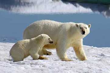 Polar bear and cub, PSitsbergen (Svalbard), Norway