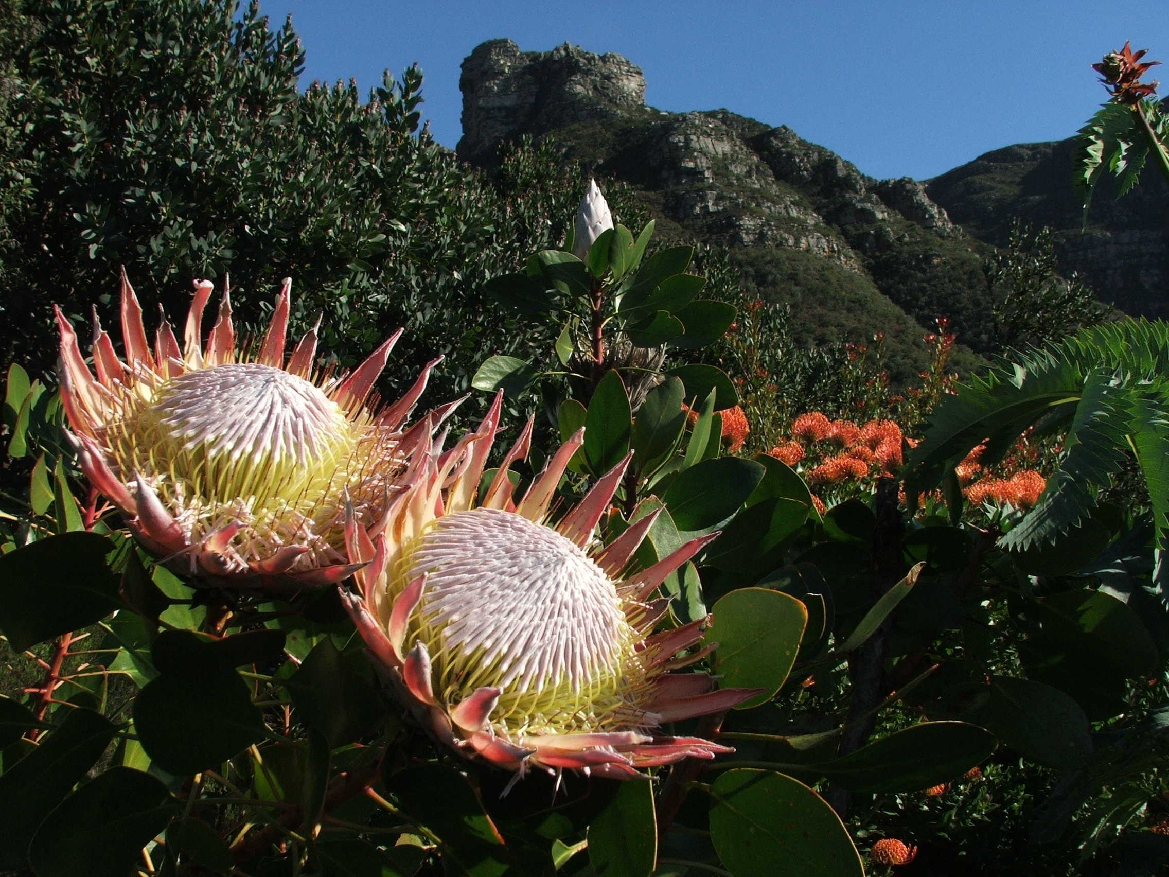 Fynbos, South Africa